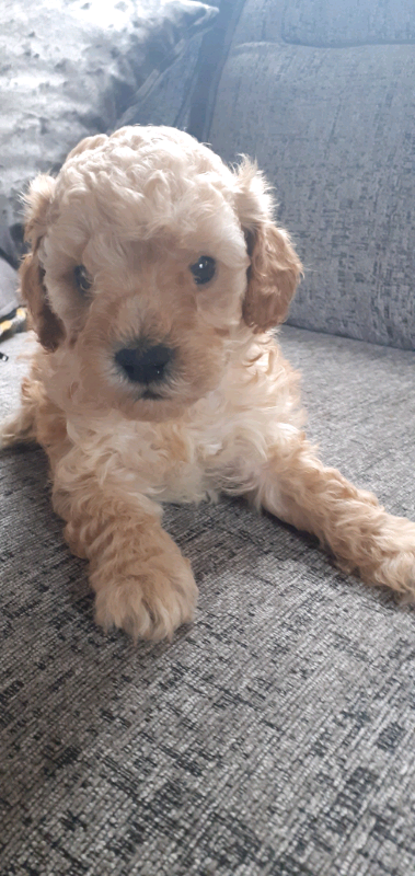 Cavapoo Pups Super Stunning Quality Extensive Dna Tested In Daventry Northamptonshire Gumtree