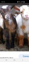 Recherche chèvre miniature