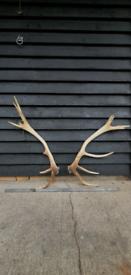 Large 'Royal' 12 tine Red Deer antlers.