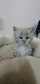 Ragdoll-kittens