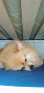 pomeranian   Dogs & Puppies   Gumtree Australia Free Local