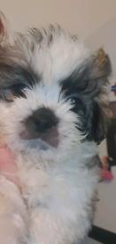 Gorgeous shihzu puppys for sale