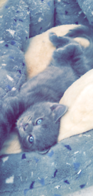 ONE MALE LEFT AVAILABLE 5 grey x ragdoll kittens