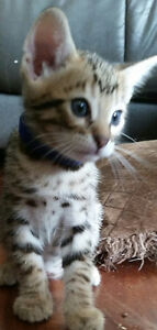 ♡♡Purebred Bengal Kittens ♡♡ Ready this week!!