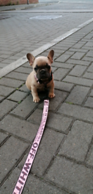 French Bulldog (Blue Fawn Quad Carrier)