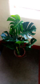 Cheese plant large house monstera