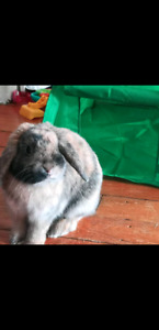 6 month holand lop bunny rabbit rehoming