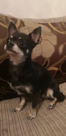 Black and Tan Chihuahua