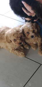 Miniature Poodle Puppies (ready to go this coming week)