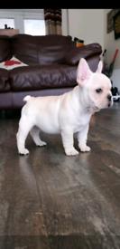 KC Reg French Bulldog Puppy. Last boy available! Ready Now!