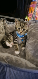 Kitten boy 9weeks