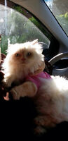 Une chatte himalayenne/ Himalayan cat 4 ans/ years old