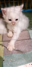 2 deaf White female kittens