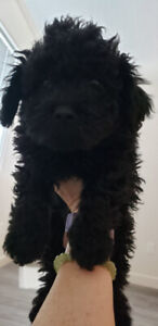 Purebred Toy Poodles (Small)