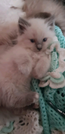 2 ragdoll kittens ready to go now
