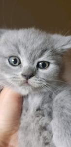 British Shorthair | Adopt Cats & Kittens Locally in Toronto