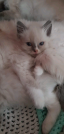 3 ragdoll kittens (ready to go)