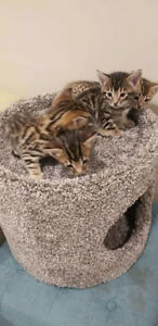 Four  Bengals Kittens for Rehoming