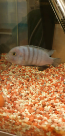 Free Malawi Ciclid between 4-5 inches