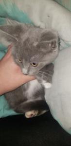 Free female Kitten.