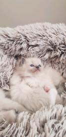 Beautiful baby ragdoll kittens