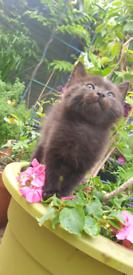Ragdoll kitten £200 Very Fluffy and Soft