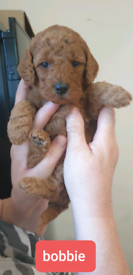 Beautiful Red Home bred Cavapoos F1B