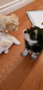 Morkie Pups 2 males and one female looking for forever homes.