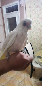 8 years old bare eyed cockatoo very beautiful need to rehome