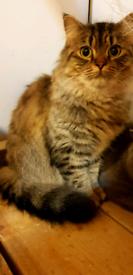 Beautiful friendly Norwegian cat