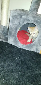 Male kitten for sale with cat tree