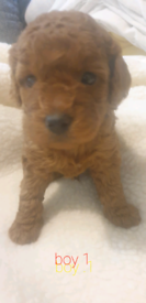 Toy cavapoos deep red F1B