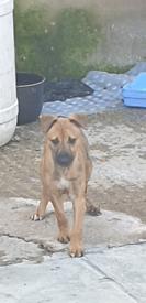 Whippet Greyhound pup