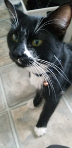Found young male cat in west k area