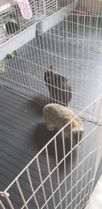 Two netherland dwarf bunnies for sale