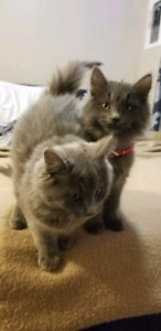 5 Month Old Kitties for Rehoming URGENT