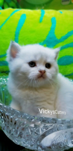 British Shorthair KITTENS DISCOUNT for the boy!