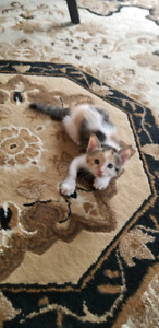 Little Calico kittens for sale