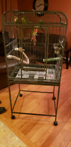 Pair of green cheek Conure comes with a large cage and toys