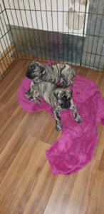 Ready for pick up. Presa Canario Championship Blood Line.