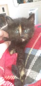 2 beautiful kitten calico/tortoise