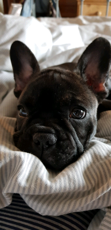 French Bulldog Puppy for sale | in Brixham, Devon | Gumtree