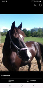 beautiful morab mare