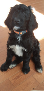 Goldendoodle puppies f1b - Ready To Go