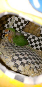 3 weeks old baby love bird need to rehome