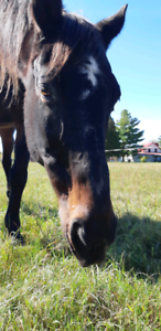 Companion  horse looking for a new home