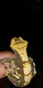 Awesome male crested gecko