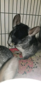 Two Male Chinchillas Needs A Forever Home ASAP