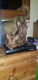 Oriental siamese kittens