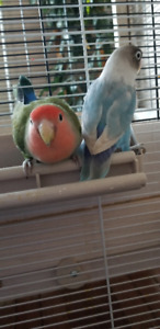 2 Love Birds for Rehoming